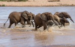 Elefanter som krysser Ewaso Ng'iro