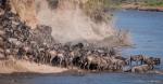 Elvekryssing i Masai Mara