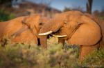 Hannelefanter måler styrke