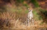 Gepard i morgenlys