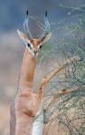 Gerenukhann på bakbeina