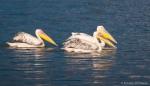 Pelikaner i Lake Nakuru