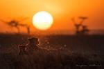 Cheetas in sunset