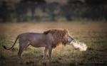 """Male lion roaring"" - HM i natur"