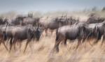 Wildebeest III